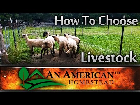 How To Choose Livestock For Your Homestead