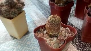 Как отделить детку кактуса?