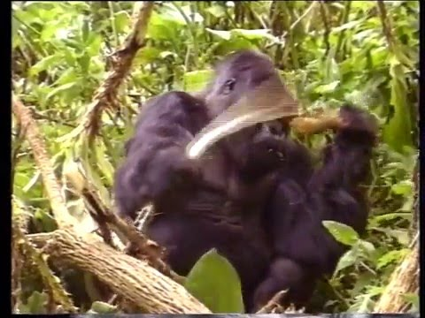 Among Mountain Gorillas