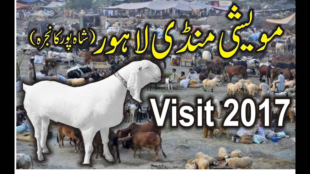 Lahore Ki Sab Se Bari Bakra Mandi | Cow Mandi Lahore 2017