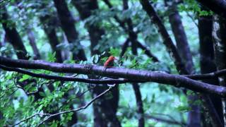 この森は素晴らしい森です、こんな素晴らしい森にこの赤い鳥が来るので...