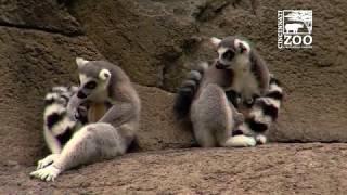 Three Ring-Tailed Lemur Births in Three Days - Cincinnati Zoo