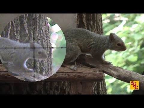 Pest Control with Air Rifles - Squirrel Shooting - 2016 Archive