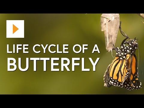 the-life-cycle-of-a-butterfly