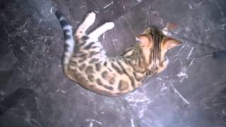 Бенгальский котенок срочно продается