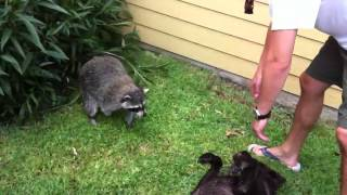 Vicious raccoon attacks lab