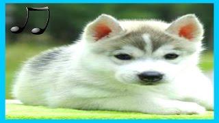 これは、1分未満であなたの犬と睡眠を落ち着か役立ちます, 犬のための音...