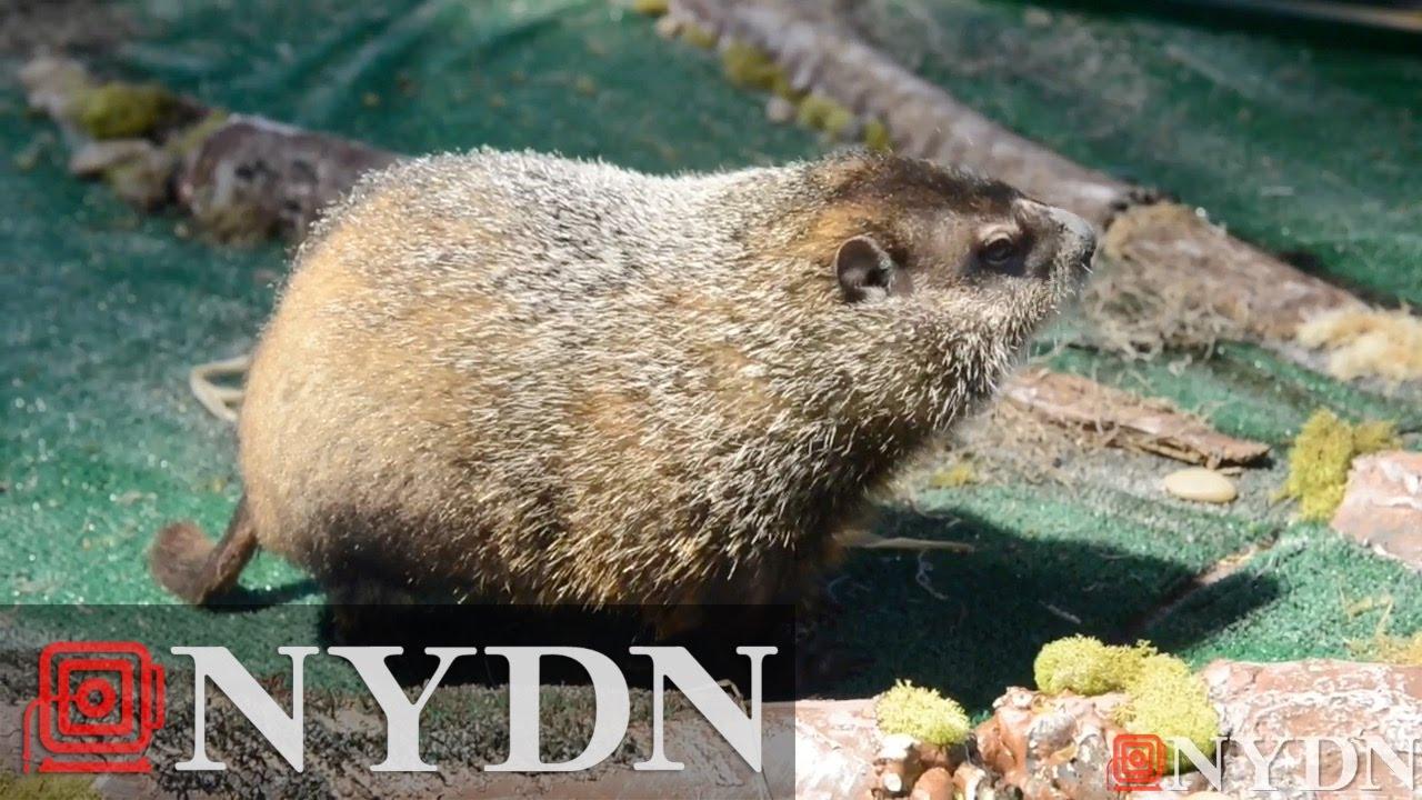Groundhog Staten Island