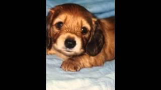 ラッスンゴレライの犬ネタを犬でしゃべらせてみました。