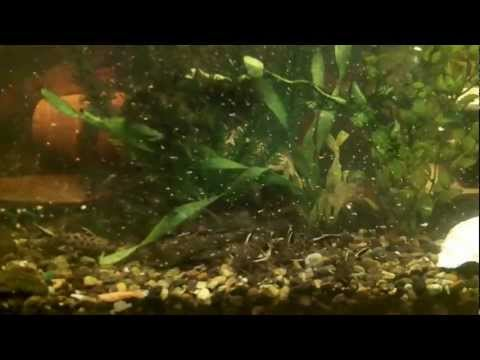 Bala Shark And Pictus Catfish Feeding