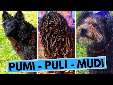 Puli Pumi and Mudi - Three Small Hungarian Sheepdogs