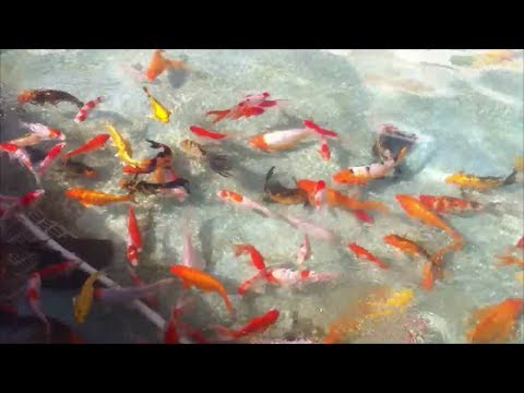 Can goldfish and koi live in tropical temperatures youtube for Koi und goldfisch