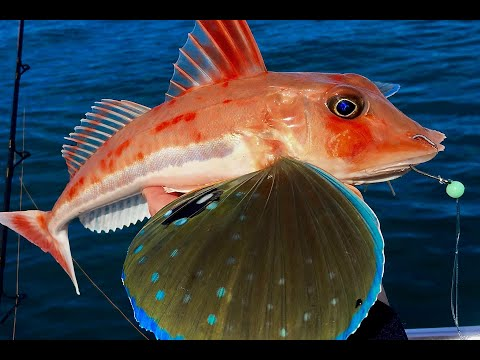 How To Rig Up For Red Gurnard Fishing