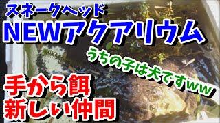 【アクアリウム】スネークヘッド水槽 手から餌やり! 新しい仲間!【スネークヘッド】