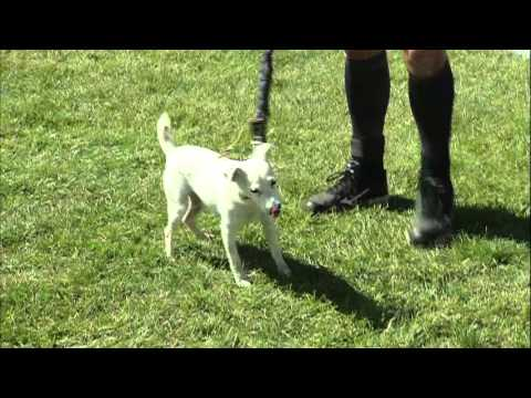 Small Dog Agility 1st Place - 2015 Incredible Dog Challenge National Finals Gray Summit, MO