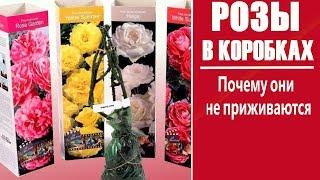Почему розы из коробок плохо приживаются