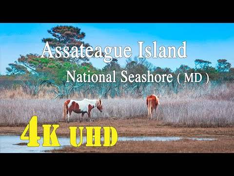 Assateague Island  National Seashore.    ( Maryland )