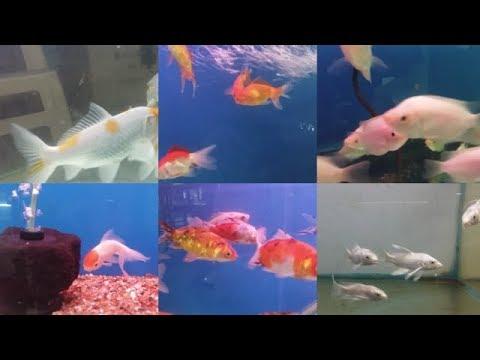 Non Aggressive Fishes For Aquarium| Gold Land Aquarium| SanjayNagar| Bangalore