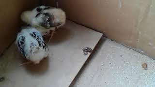Мои цыплята