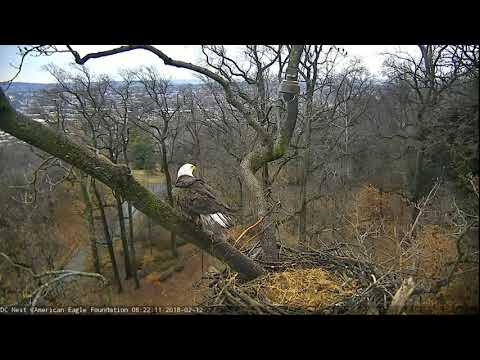 AEF DC EAGLE CAM  12 FEB 2018 - Another Sub-Adult Visitor