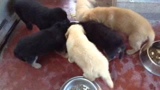 8 Week Old German Shepherd/golden Retriever Mix Puppies, Eating Time(dumaguete City)
