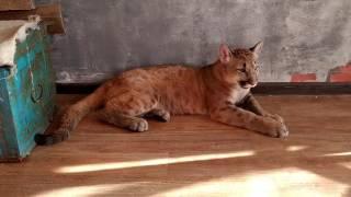 Знакомство с котенком пумы