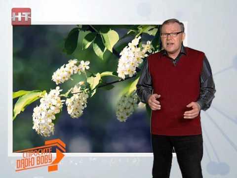 Спросите дядю Вову. Почему холодает, когда цветет черемуха?