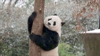 Bei Bei the giant panda enjoys winter snow at Washington DC zoo