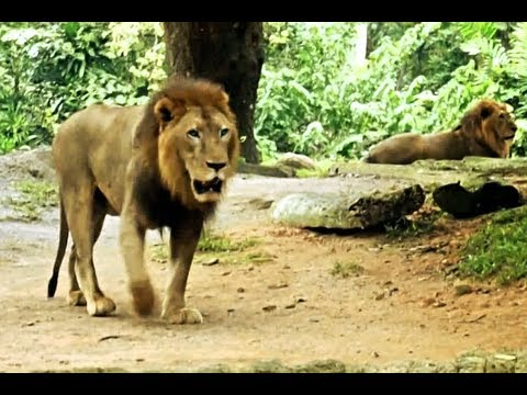 Large Lions from Africa.