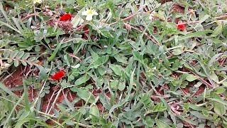 Red Velvet Mites : Velvet Mite