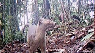 First video of wild rare apex predator caught on trail camera in Madagascar