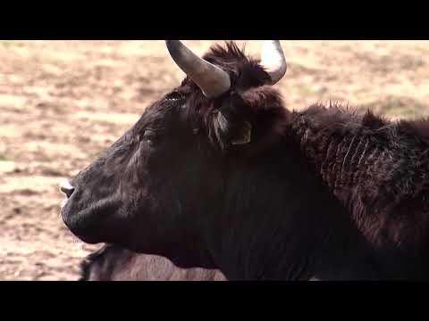Rancher guards irradiated cattle near Fukushima