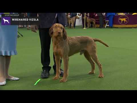 Wirehaired Vizslas | Breed Judging 2020