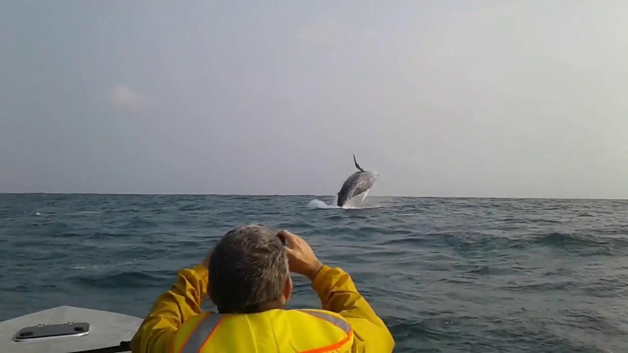 Humpback whales, Loango National Park,Gabon