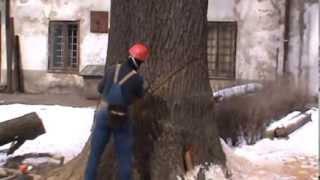 Jak obala się drzewo o średnicy pnia ponad 1.5 metra