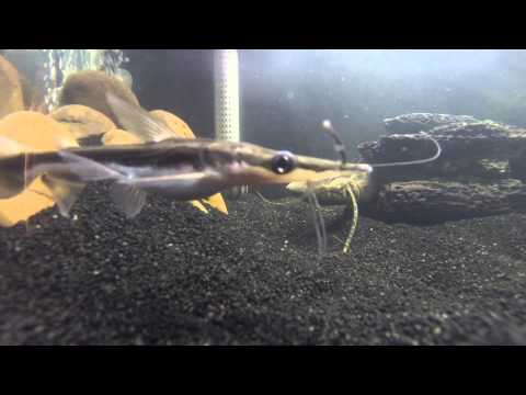 African Lungfish Feeding