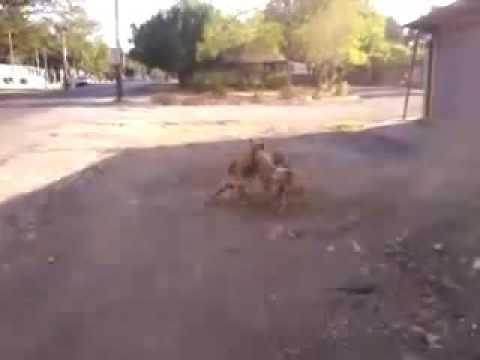 Dangerous Dog fight