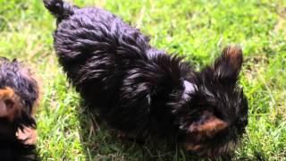 Puppies For Sale - Dora/emma/fefe - Yorkies