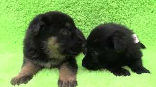 ジャーマンシェパードドッグの子犬です。 子犬の詳細は → http://www.an...