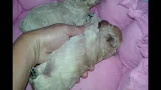 Filhotes De Poodle Micro Toy, Filhinhas De Lindy Rosa!