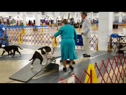 Greenville SC AKC Dog Show Amstaffs 7/26/18