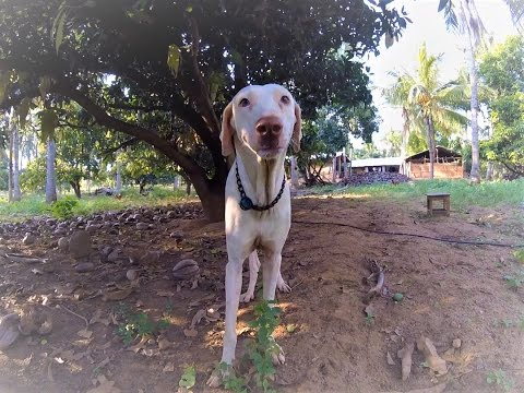 Video #3: Breed Focus: The Rajapalayam Dog by Mr. Pon Elangovan