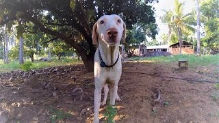 Video #3: Breed Focus: The Rajapalayam Dog by Mr. Pon Elangovan [Subtitles in English]