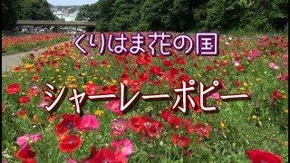 花の風景 くりはま花の国のシャーレーポピー