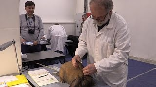 Оценка кролика породы французский баран. Эксперт Милош Супука