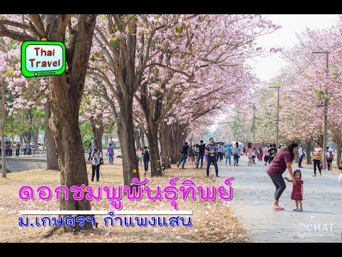 ดอกชมพูพันธุ์ทิพย์ ม.เกษตรฯ กำแพงแสน 24/2/2559 Chompoo Pantip Kasetsart kamphaengsaen