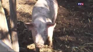 Stéphane LAMART - Reportage de TF1 sur le sauvetage de la vache Cornette sauvé de l'abattoir