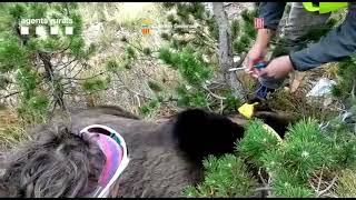 Espagne : l'ours Goiat capturé... puis relâché avec un nouveau collier
