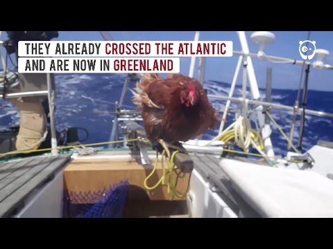 Chicken Sails Around The World With Her Human Friend