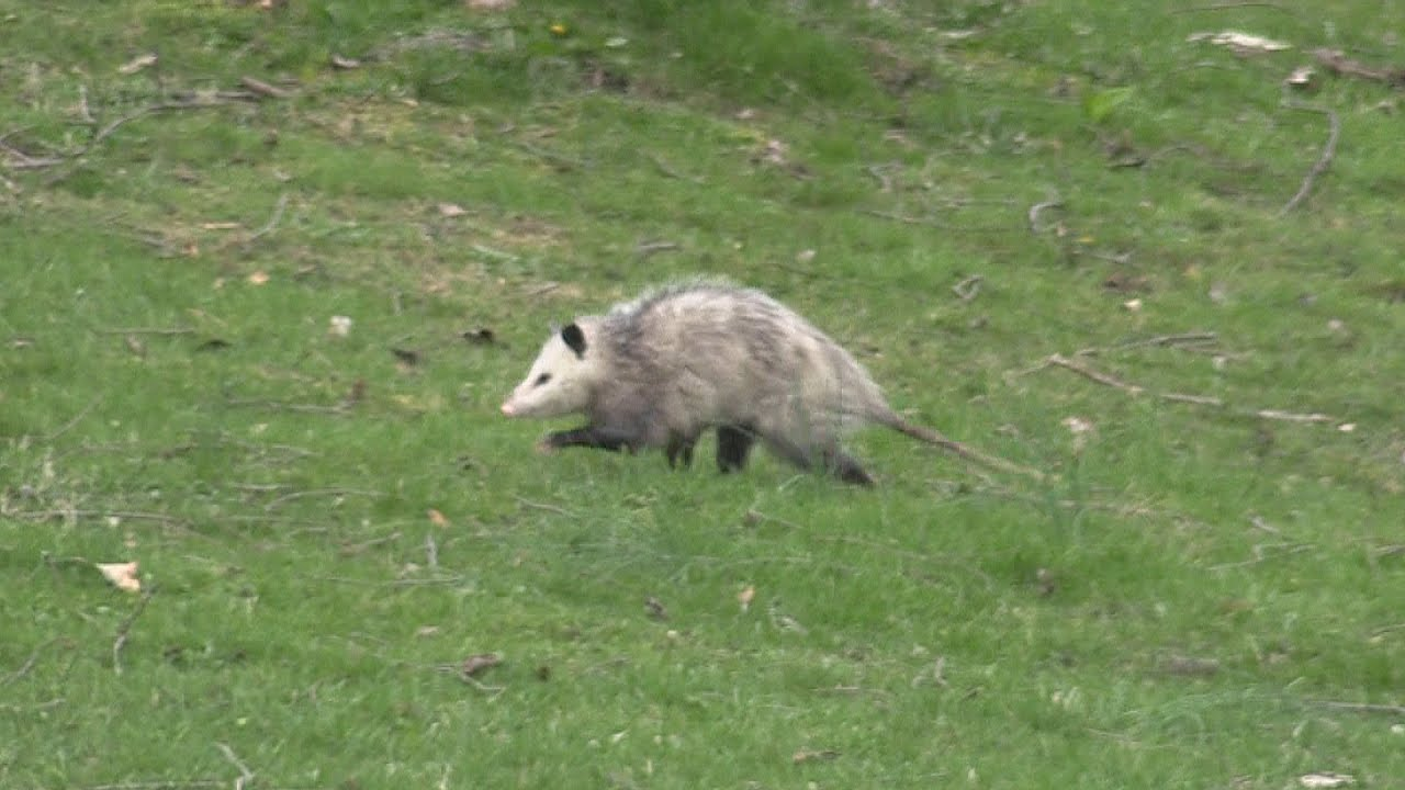 Possum In Back Yard Apr 11 2016 Youtube